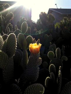 cactus-flower-with-lens-flare